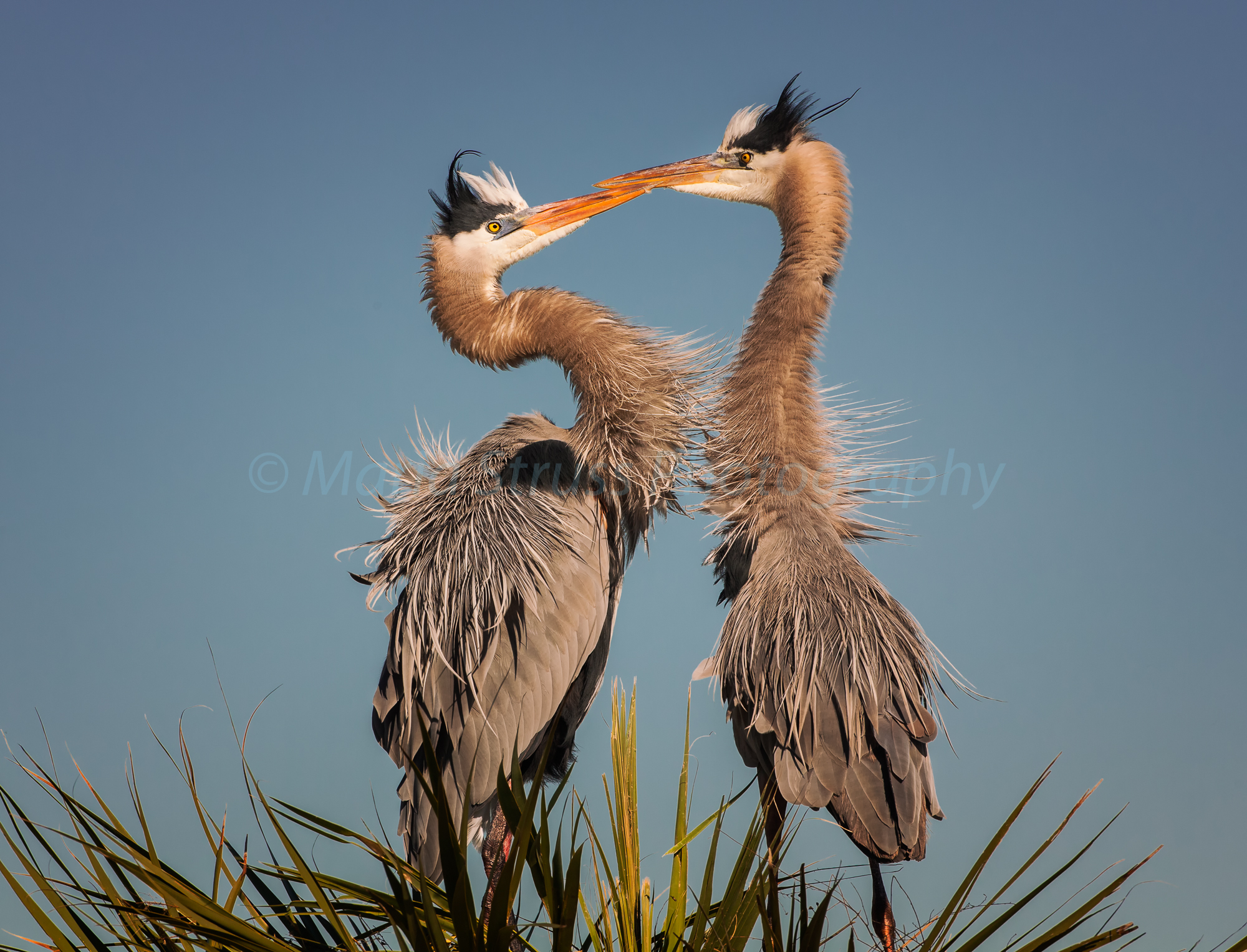 Great Blue Heron Courtship 84
