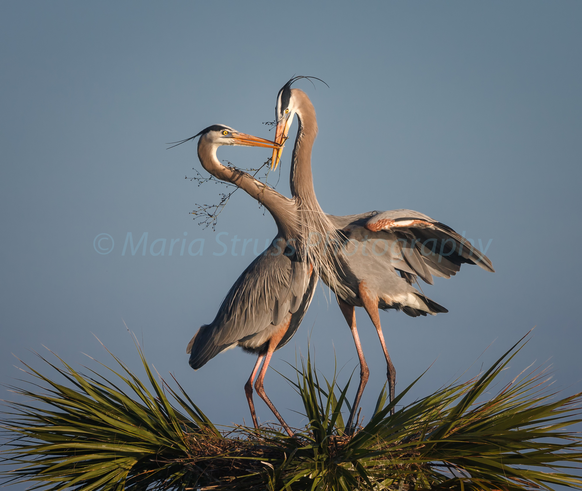 Great Blue Heron Couple 5