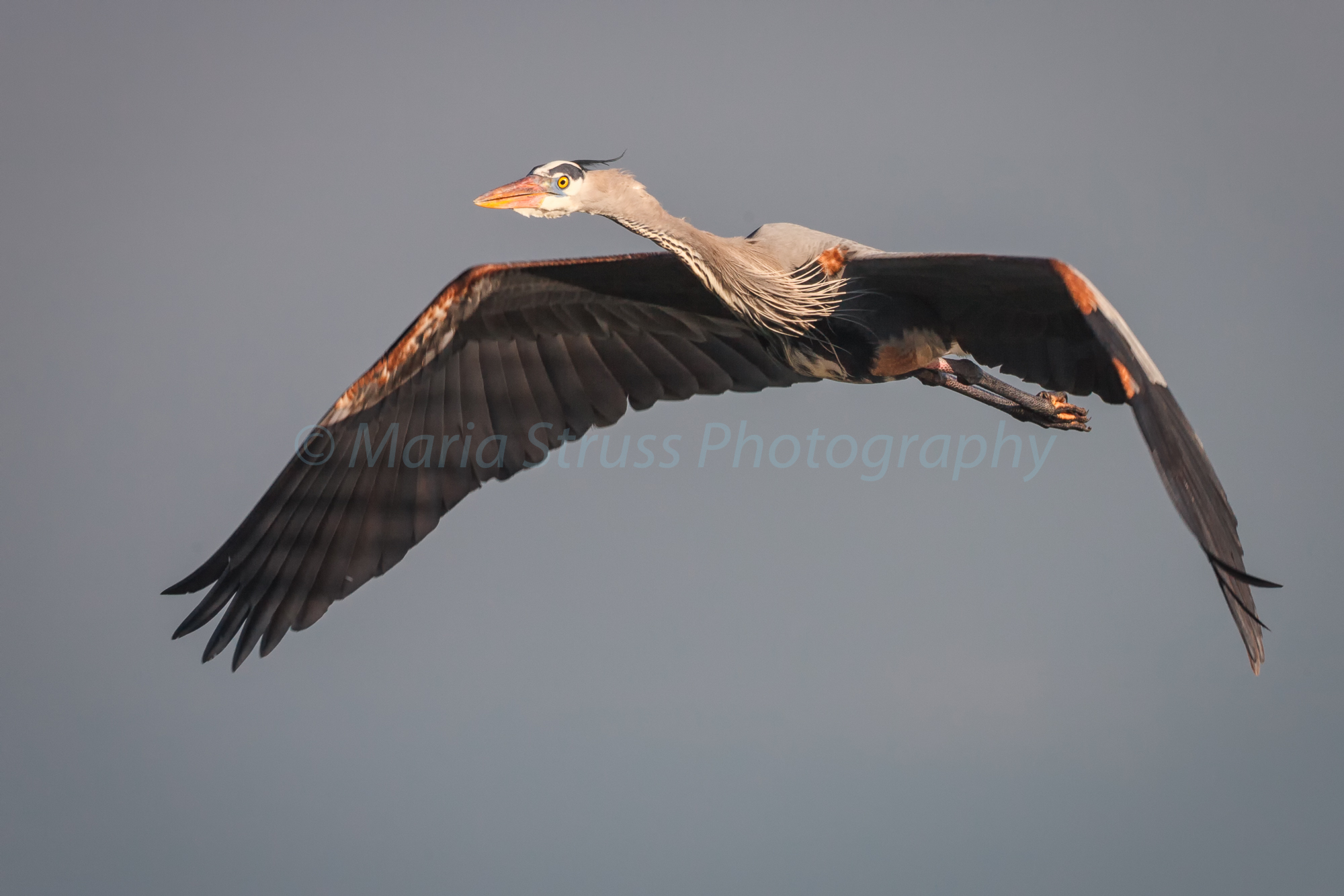 single heron in flight-