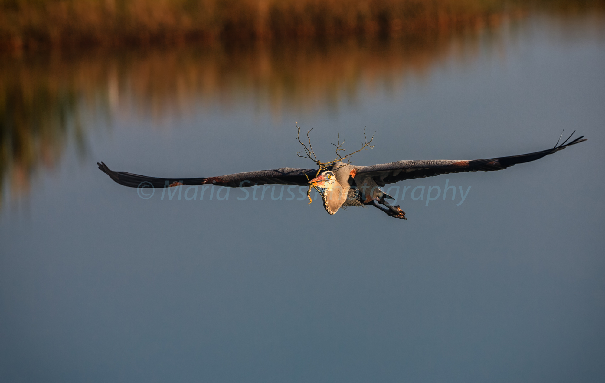 single heron in flight 2-2