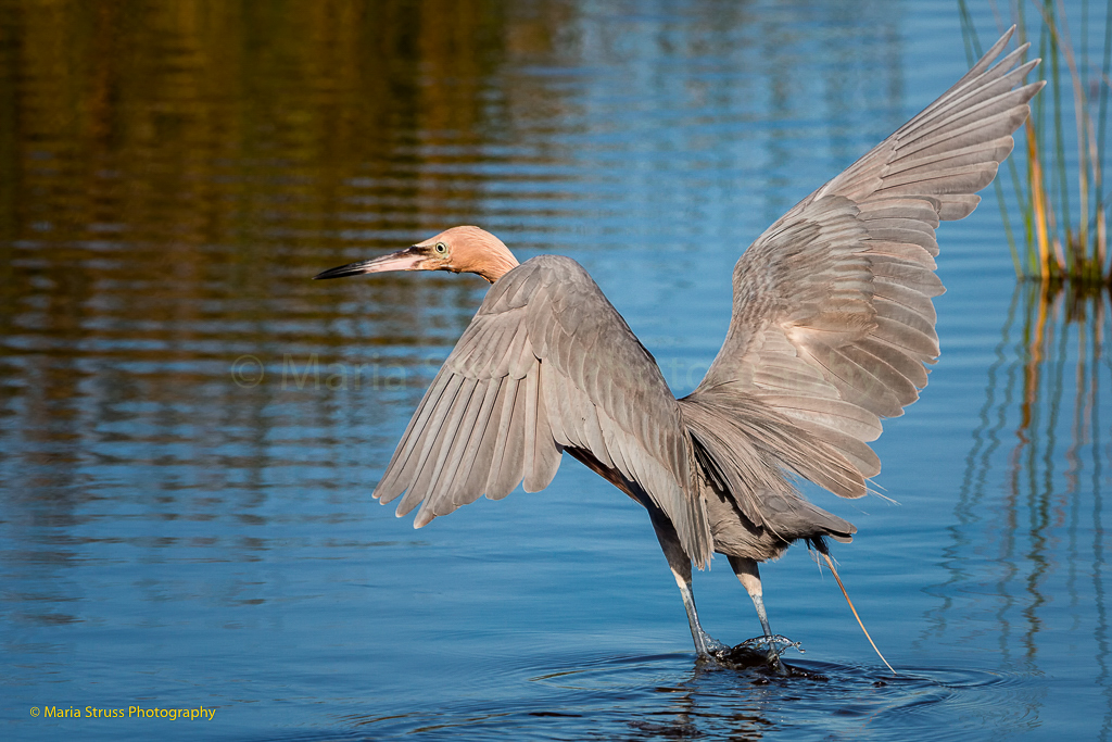 A reddish egret spreads his wings as he attempts to catch fish at Merritt Island.