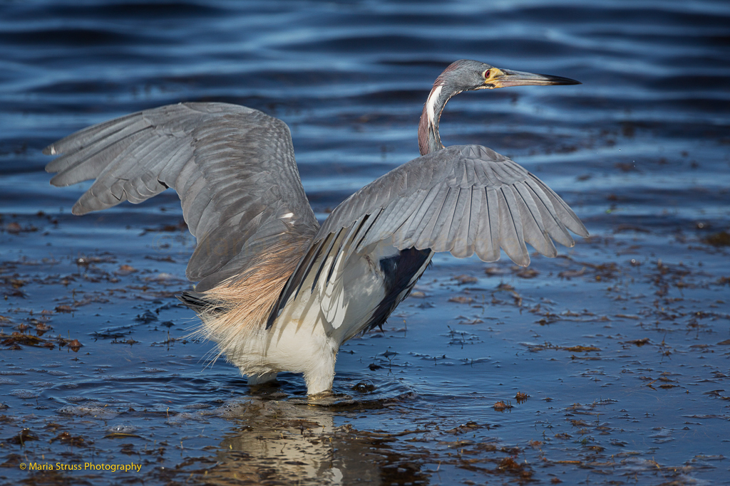 TRICOLORED HERON SPREADING HIS WINGS TO CATCH FISH.